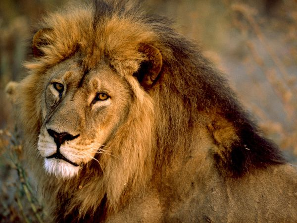 African-lion-male_436_540x405